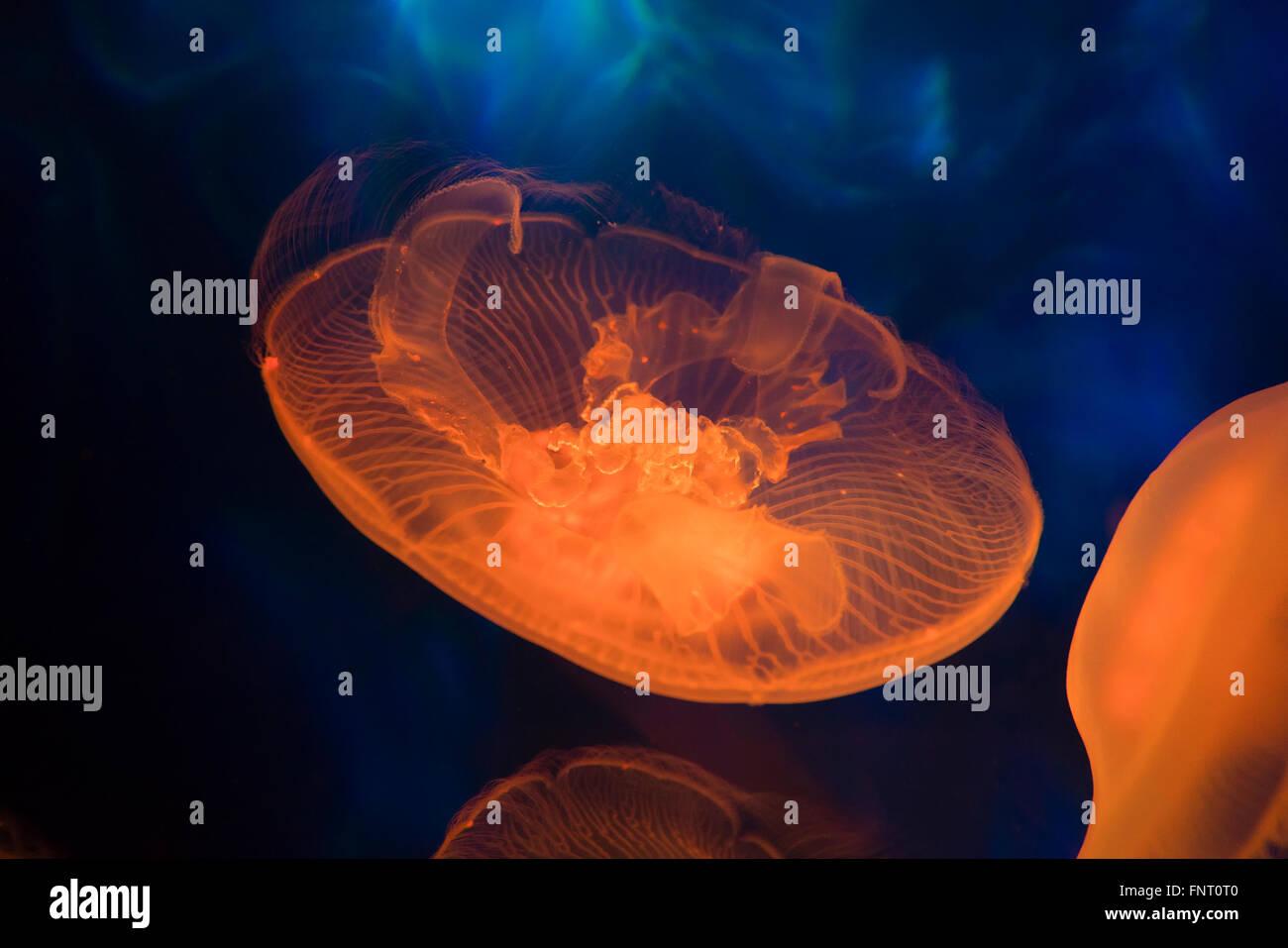 Moon sea jelly - Stock Image
