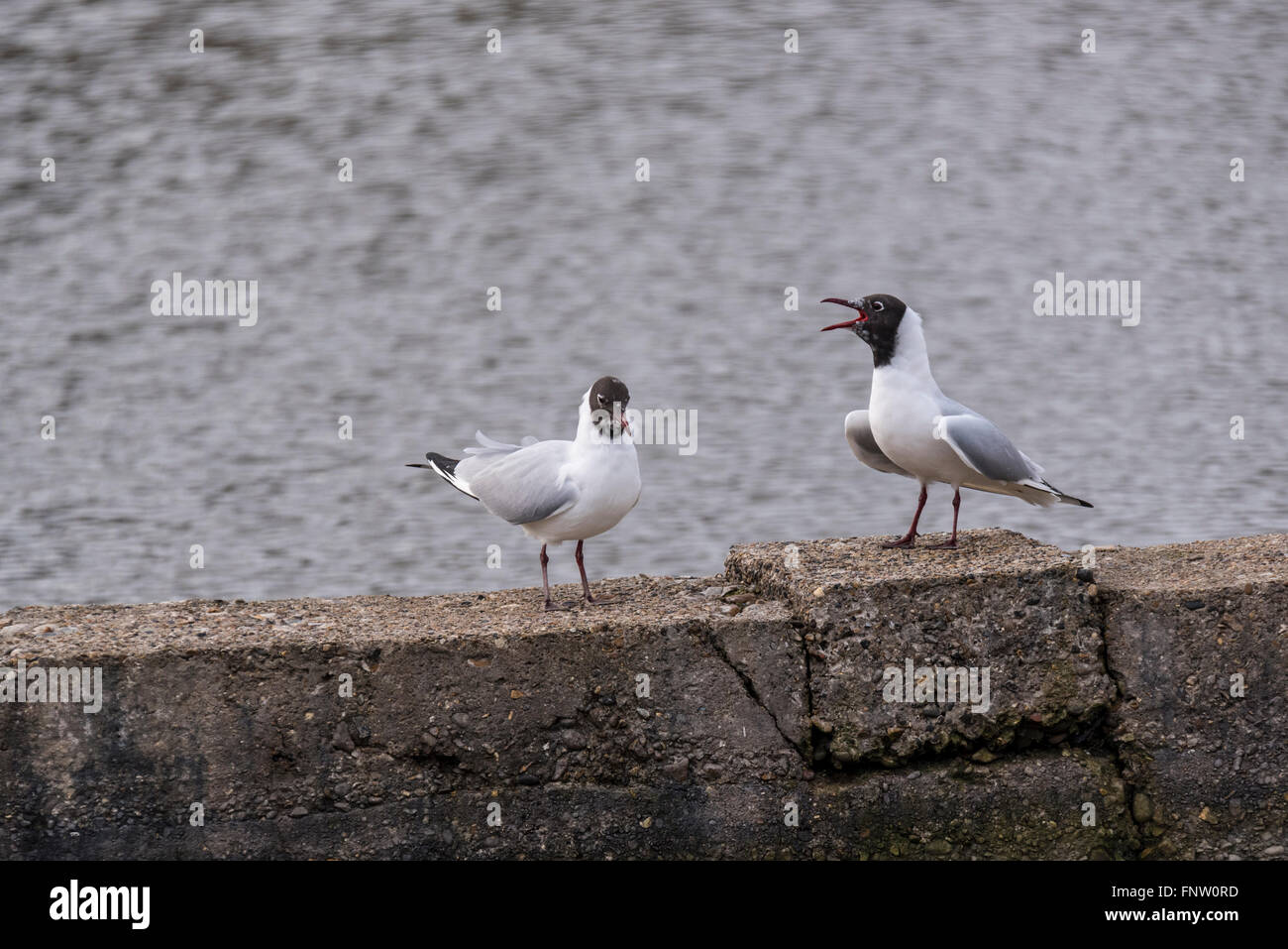 A pair of Black Head Gulls calling loudly in a territorial display - Stock Image