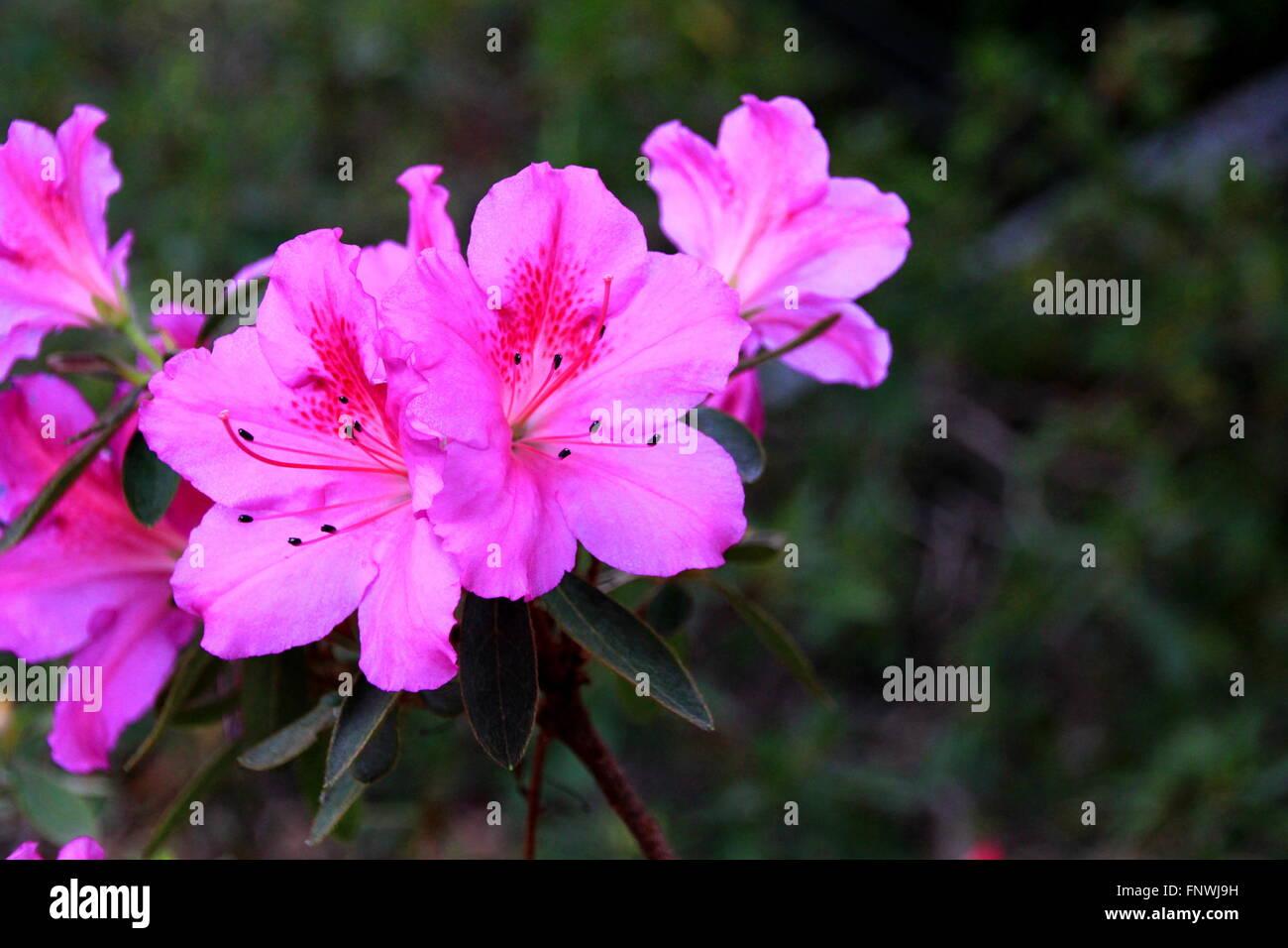 background of magenta azalea flowers - Stock Image