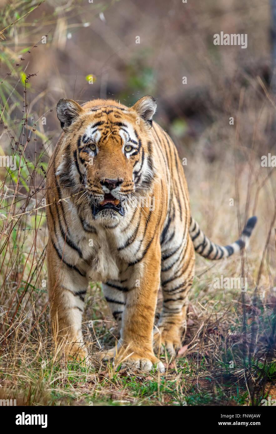 Waghdoh or Scarface huge dominant male Tiger at Tadoba, India. ( Panthera Tigris ) - Stock Image