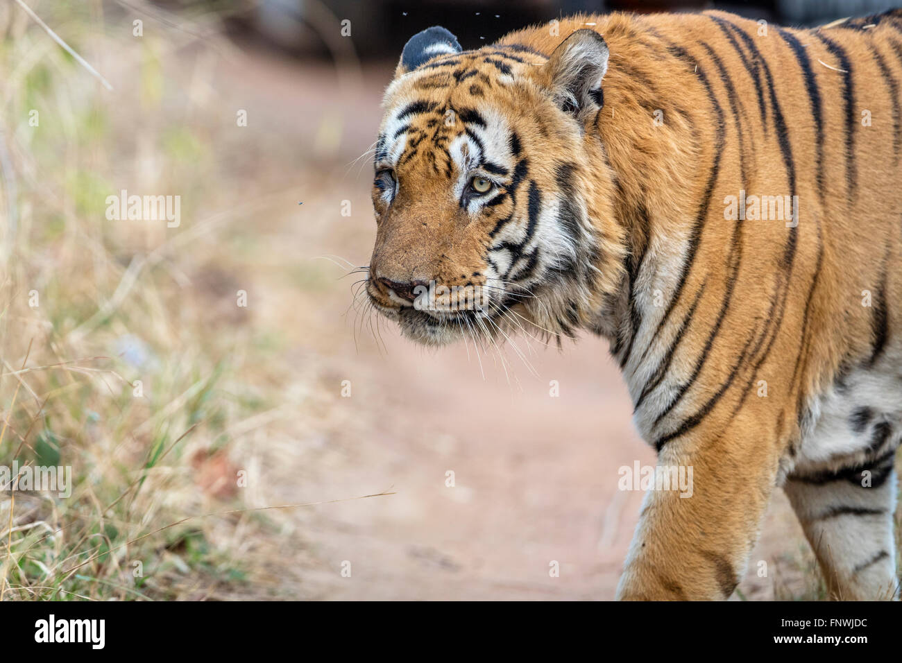 Waghdoh or Scarface huge dominant male Tiger at Tadoba, India. ( Panthera Tigris ) - Stock Image