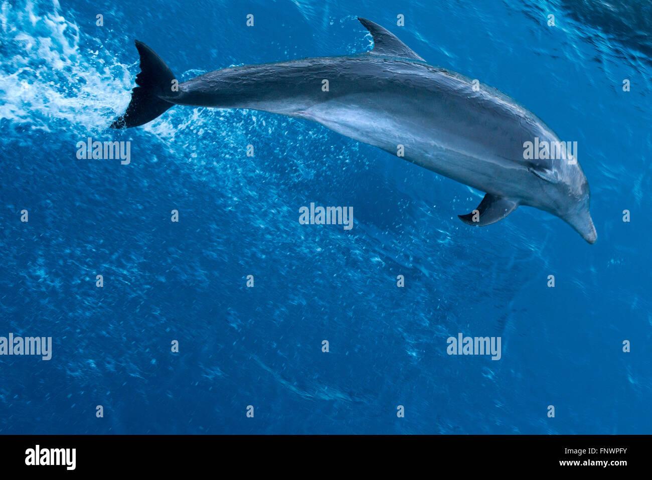 Bottlenose Dolphin (Tursiops truncatus) riding waves. Dolphins in Tuamotu islands, Rangiroa Atoll, cruise aboard - Stock Image