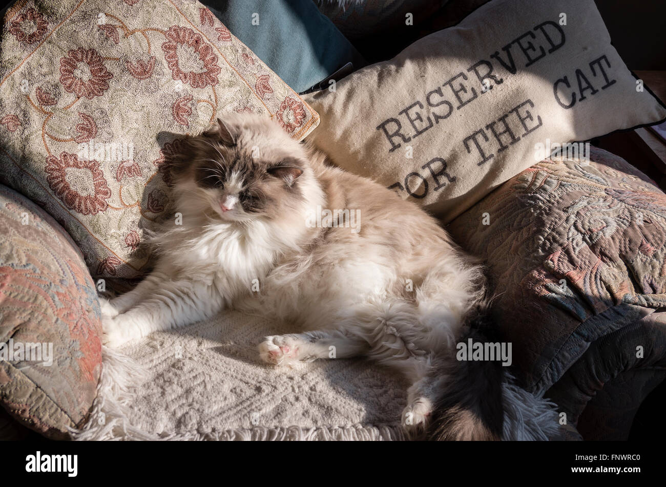Ragdoll cat dozing in sunshine in his favourite armchair - Stock Image