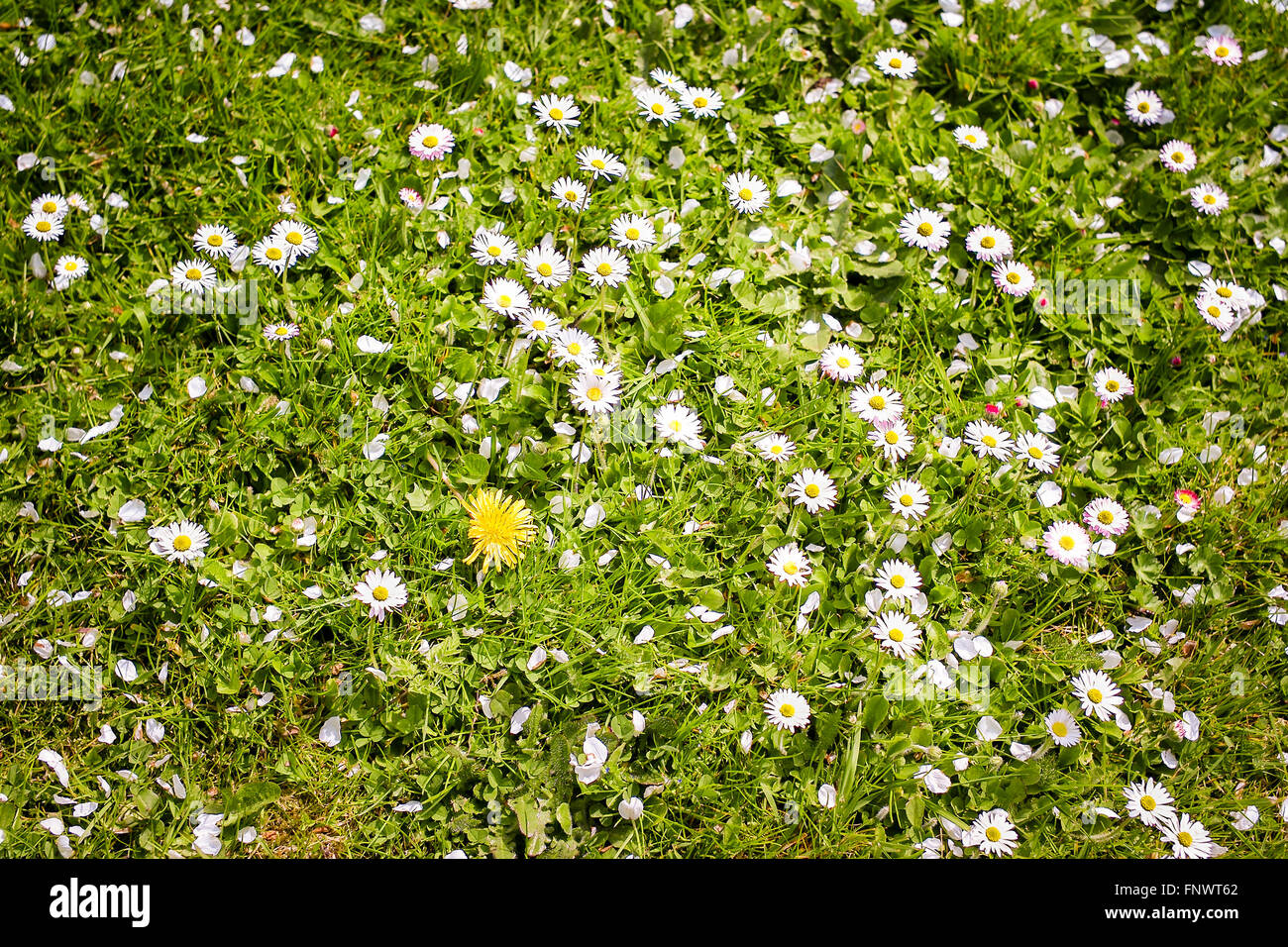 Daisies colonizing an ordinary garden lawn - Stock Image