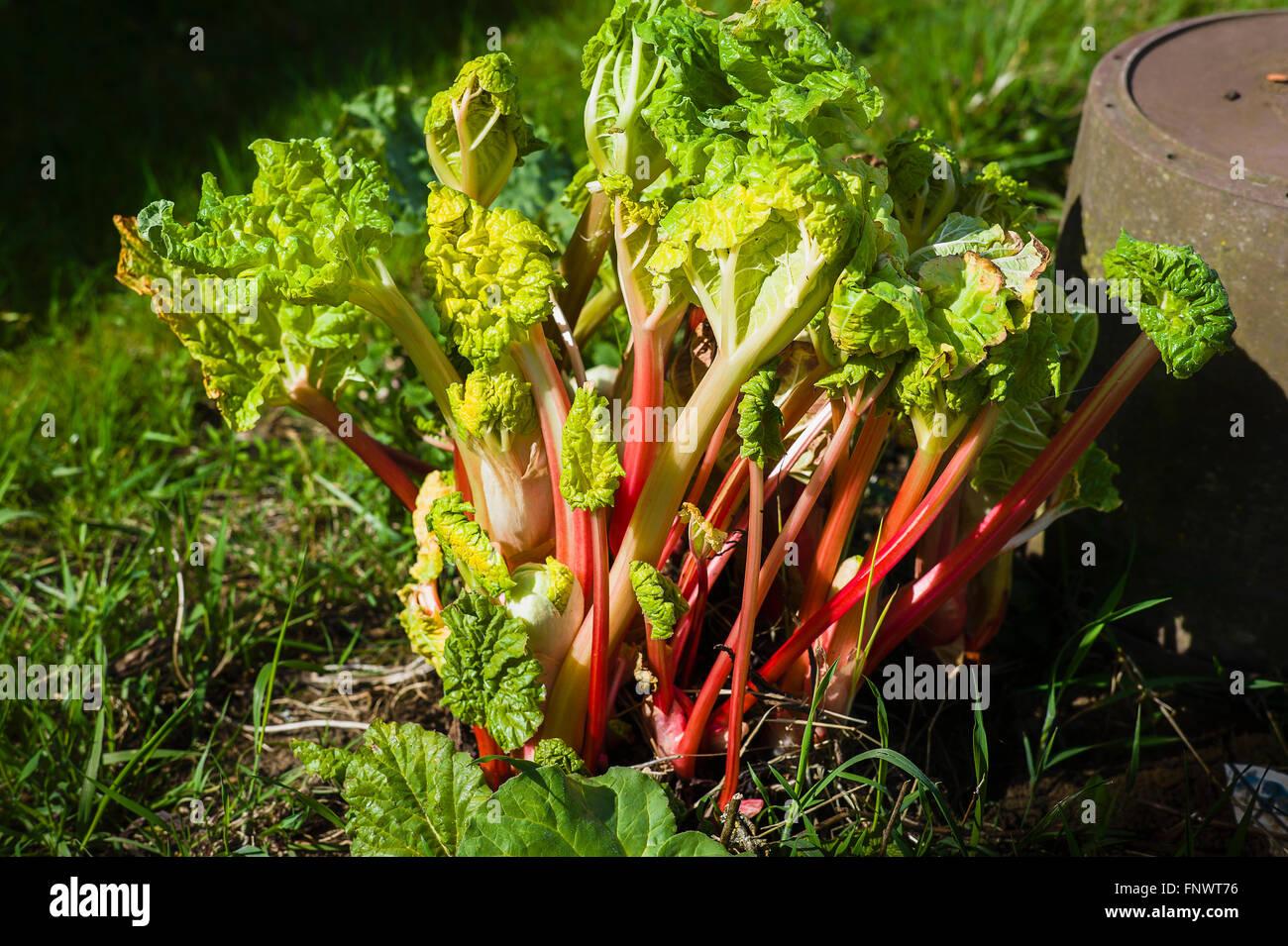 Healthy Stockbridge Arrow rhubarb ready for first picking of the season - Stock Image