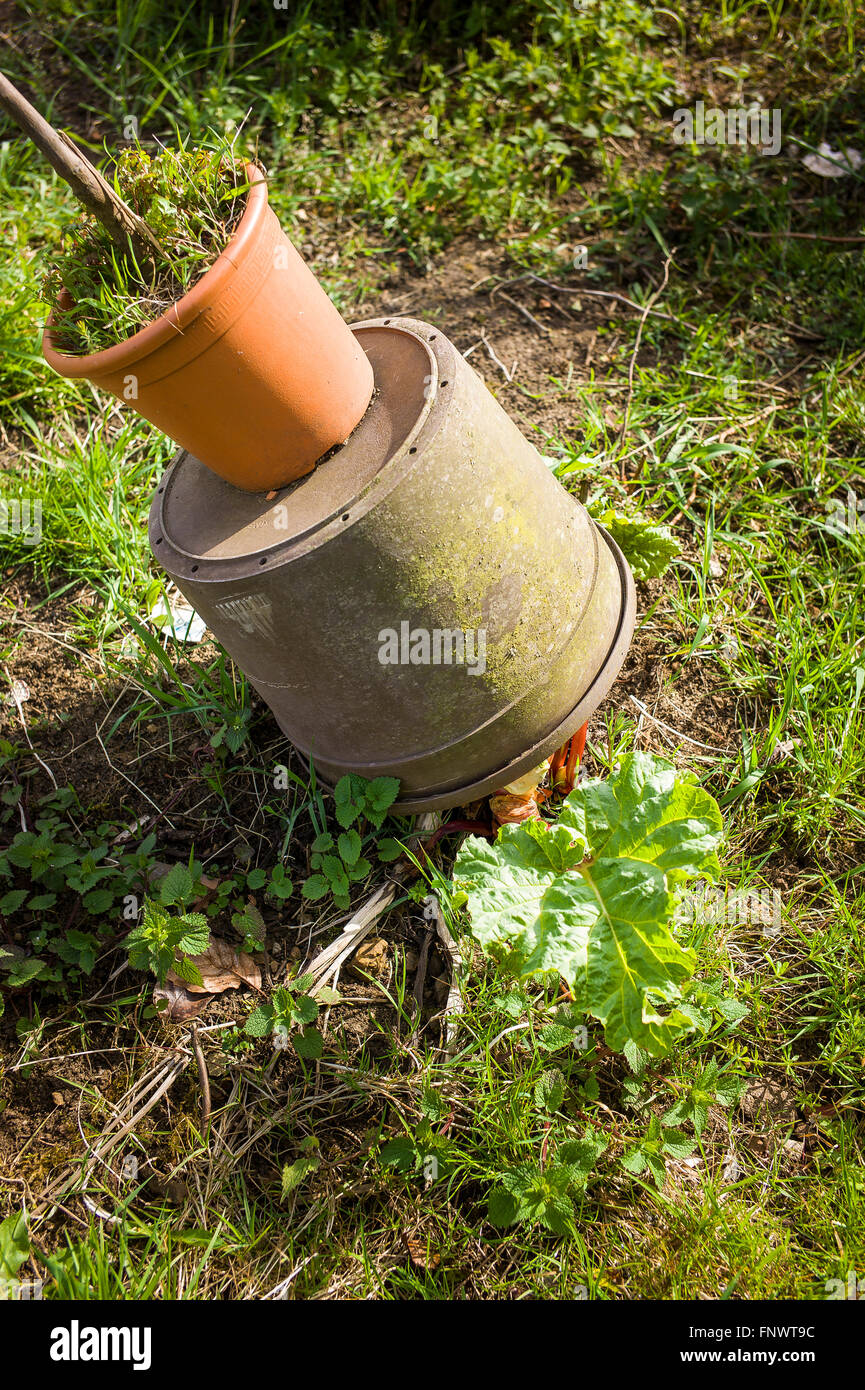 Use of a too-small pot for forcing rhubarb showing strength of rising stems - Stock Image