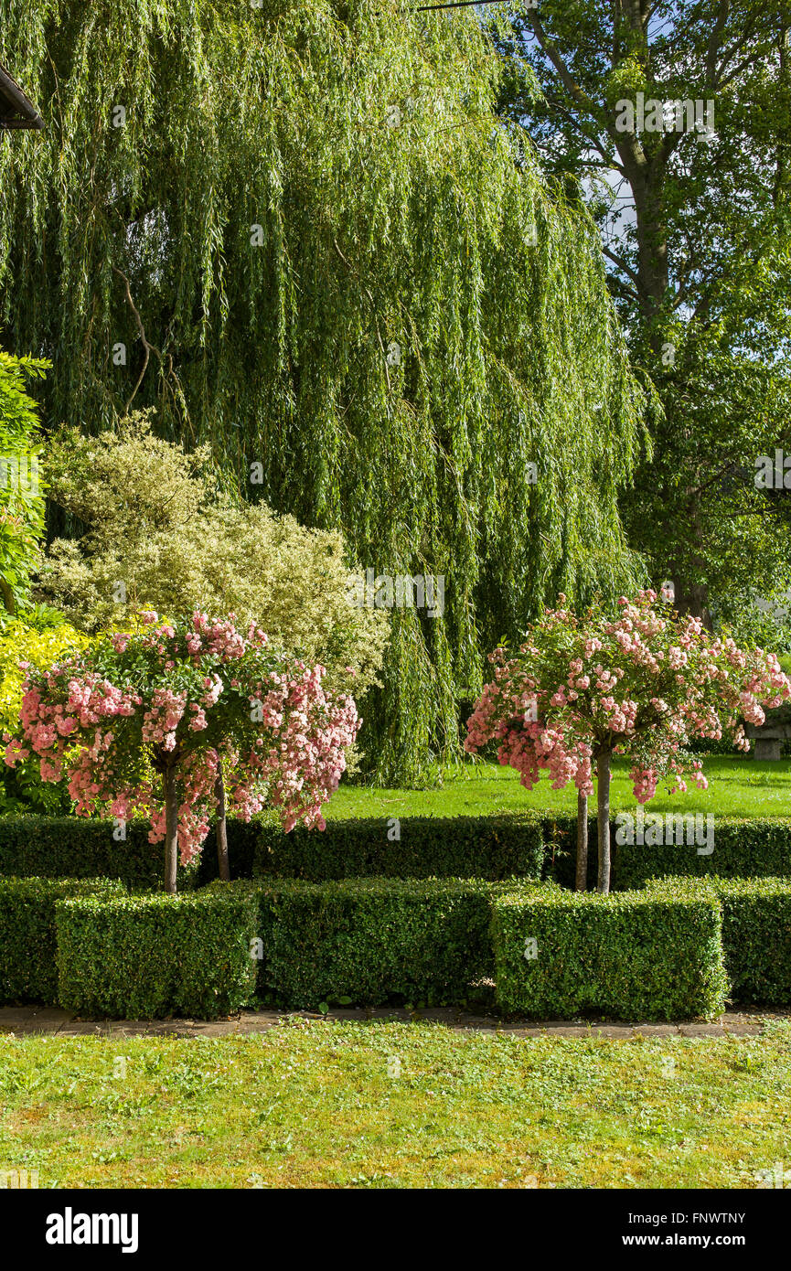 In a Cotswold village front garden; roses and willow tree - Stock Image