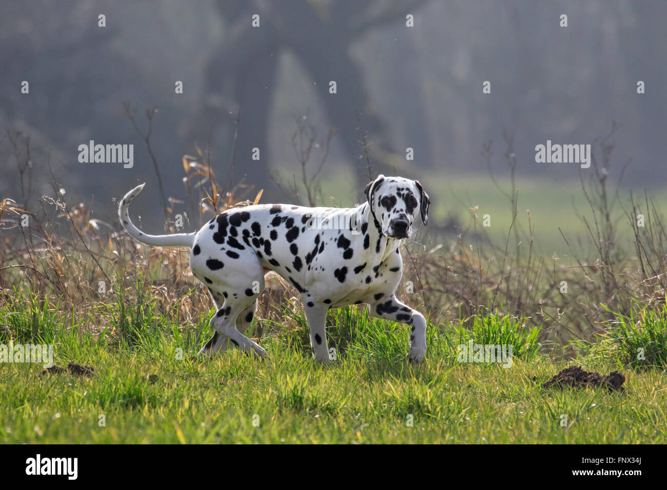 Dalmatian / carriage dog / spotted coach dog walking in field - Stock Image