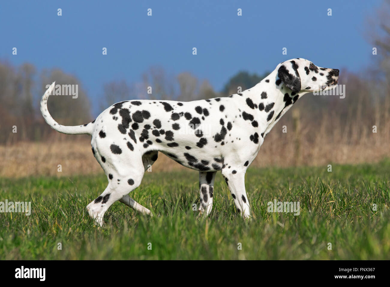 Dalmatian / carriage dog / spotted coach dog in field - Stock Image