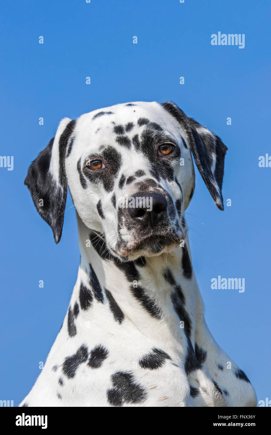 Dalmatian / carriage dog / spotted coach dog close up portrait Stock Photo