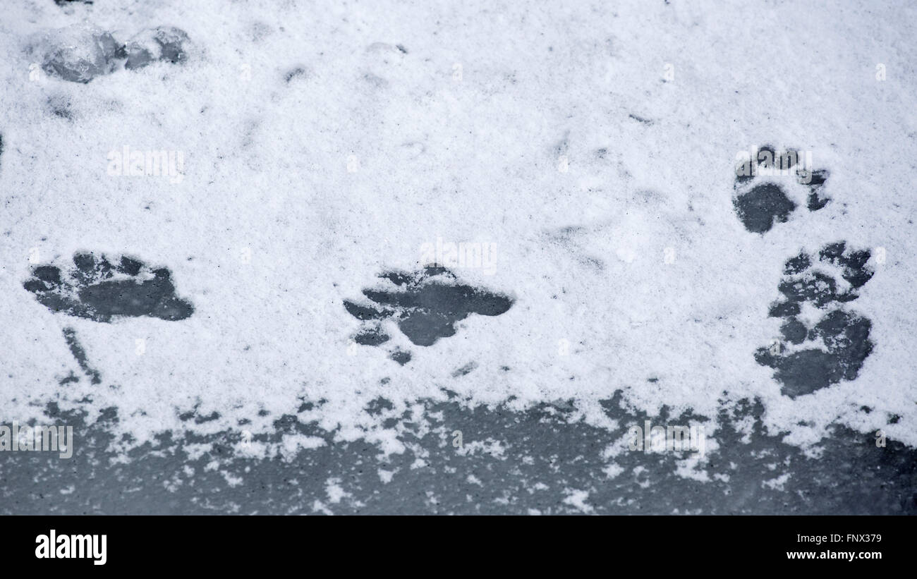 European otter (Lutra lutra) footprints in the snow on frozen pond in winter - Stock Image