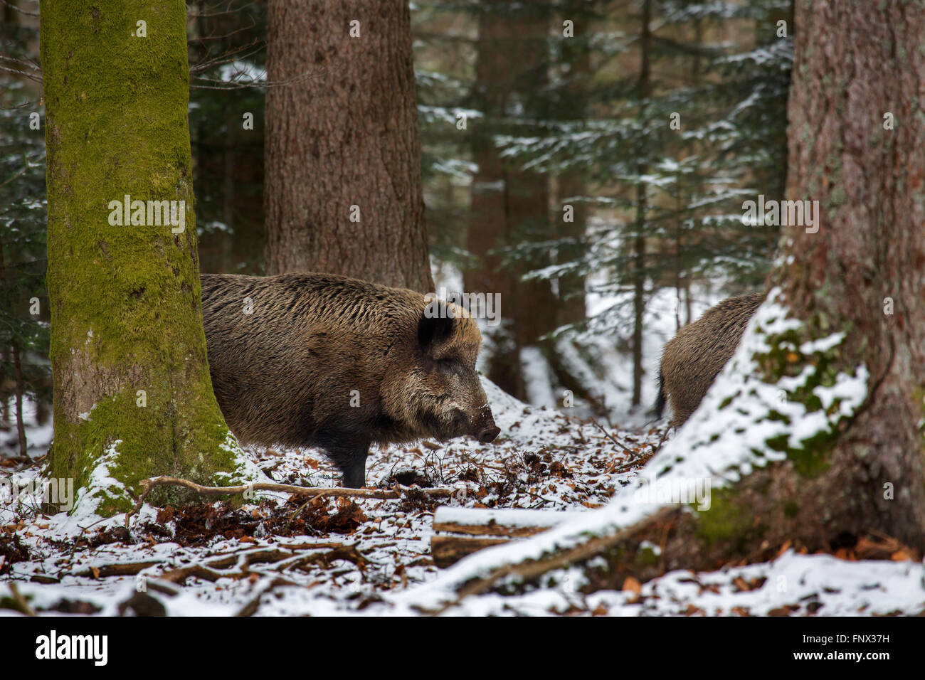 Wild boars (Sus scrofa) foraging in pine forest in the snow in winter - Stock Image