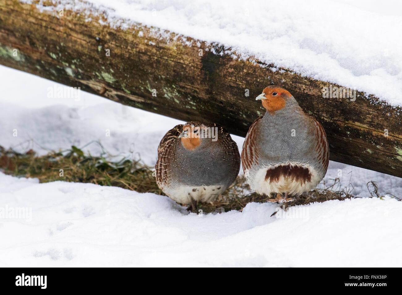 Grey partridges / English partridge (Perdix perdix) couple seeking shelter under log in the snow in winter - Stock Image