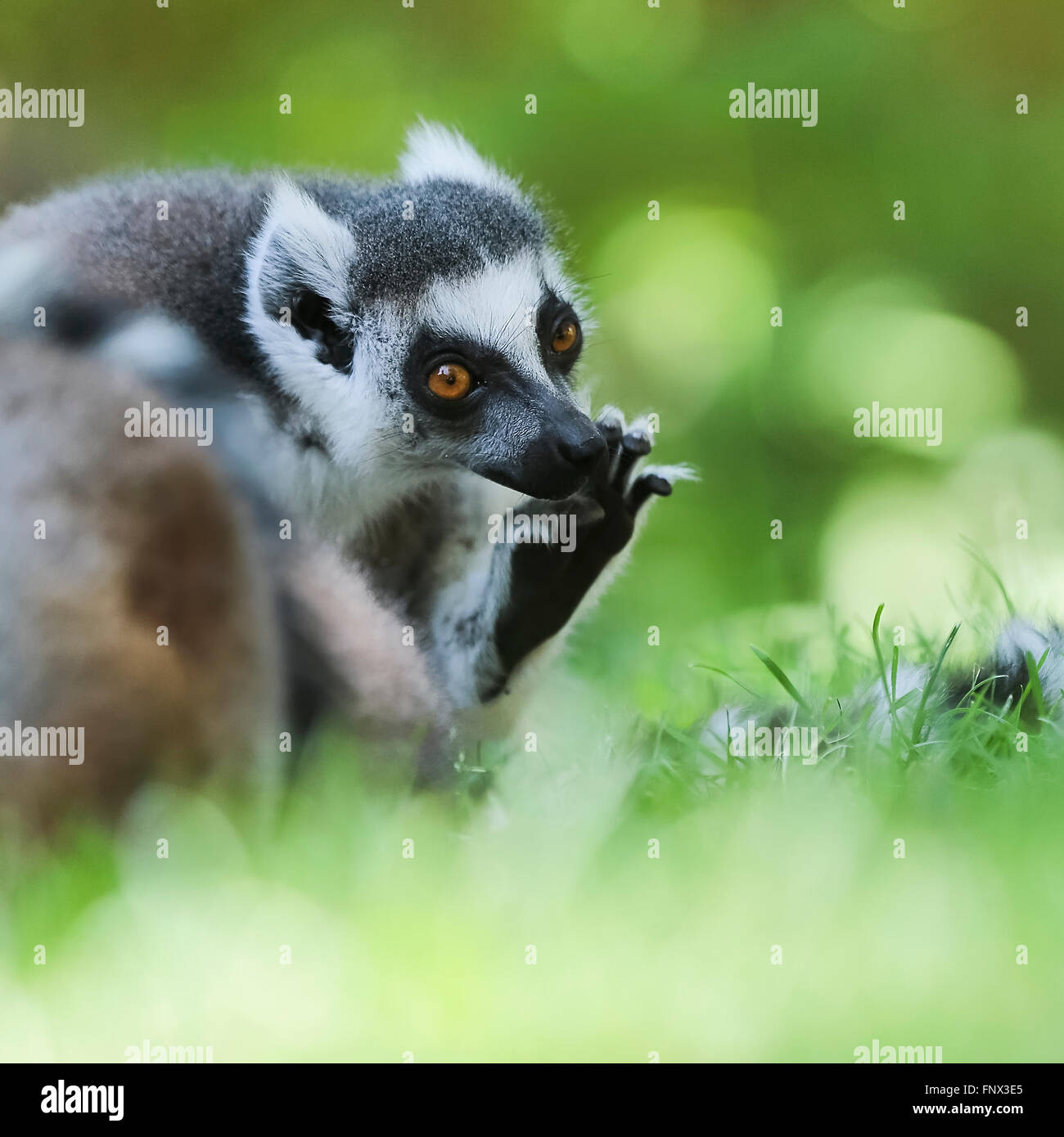 Ring-tailed Lemur (Lemur Catta) basking in the sun, Madagascar, Africa - Stock Image