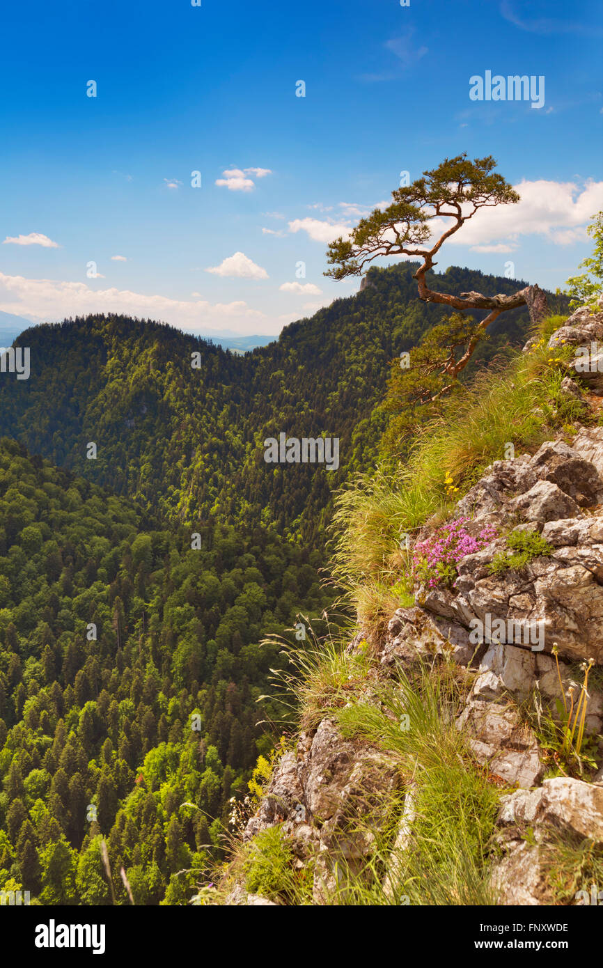 A lonely pine tree on the edge of the Dunajec Canyon on the Polish and Slovakian border. Photographed on a bright - Stock Image