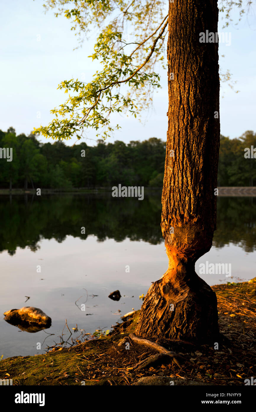 A beaver damaged tree in Southern Pines North Carolina - Stock Image