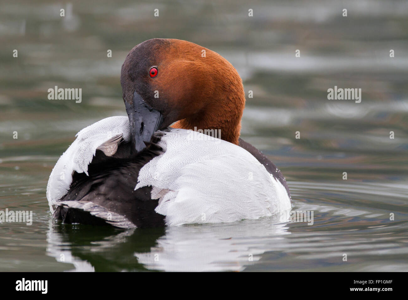 A canvas back duck cruising a pond. - Stock Image