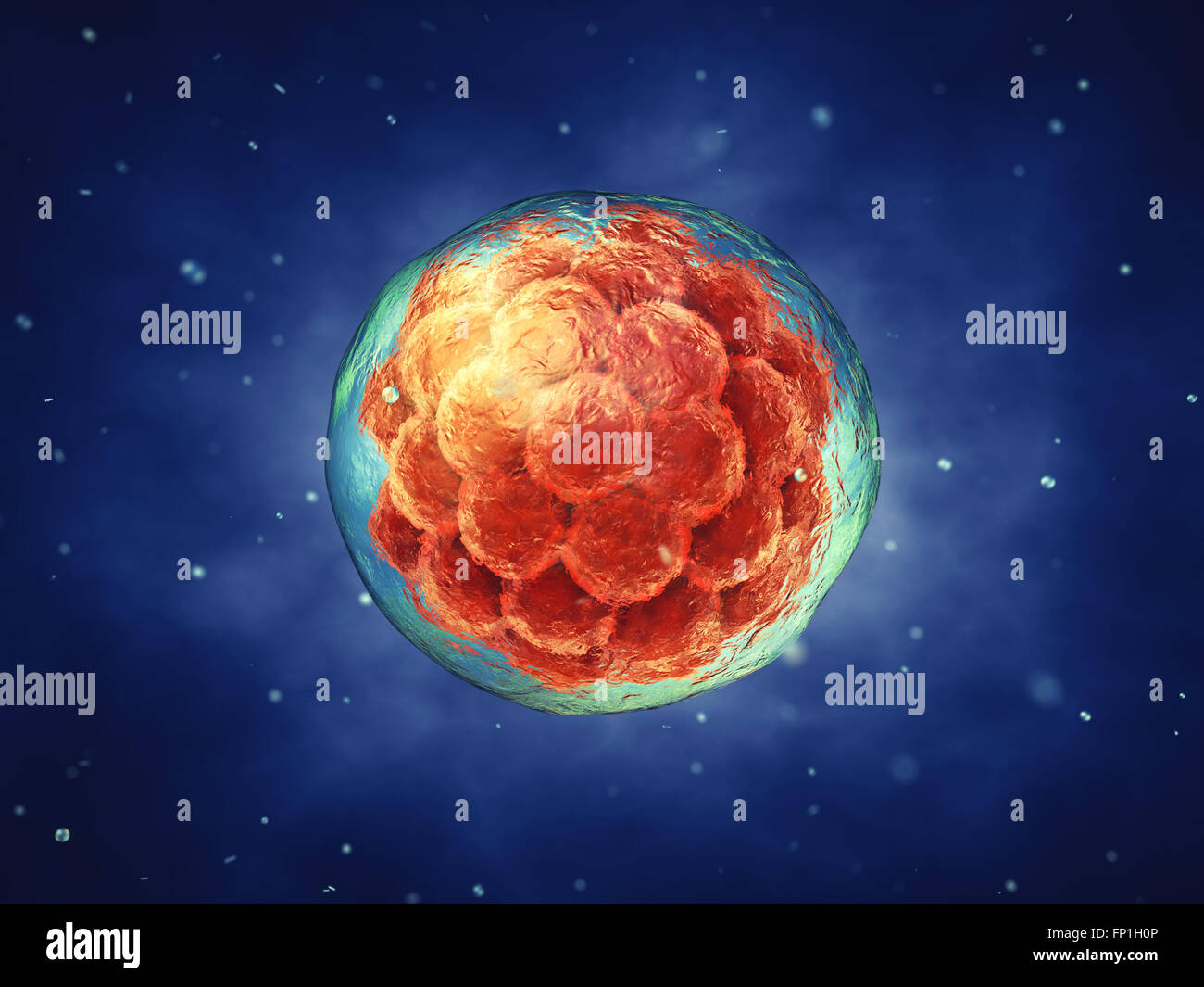 Early stage embryo , Stem cell research , Embryogenesis - Stock Image