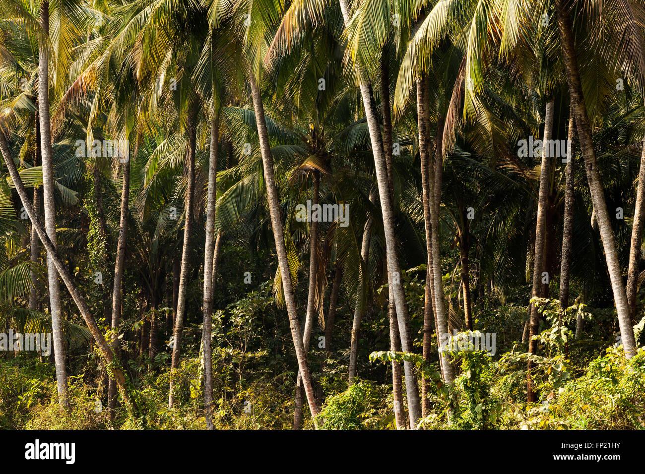 coconut tree jungle - Stock Image