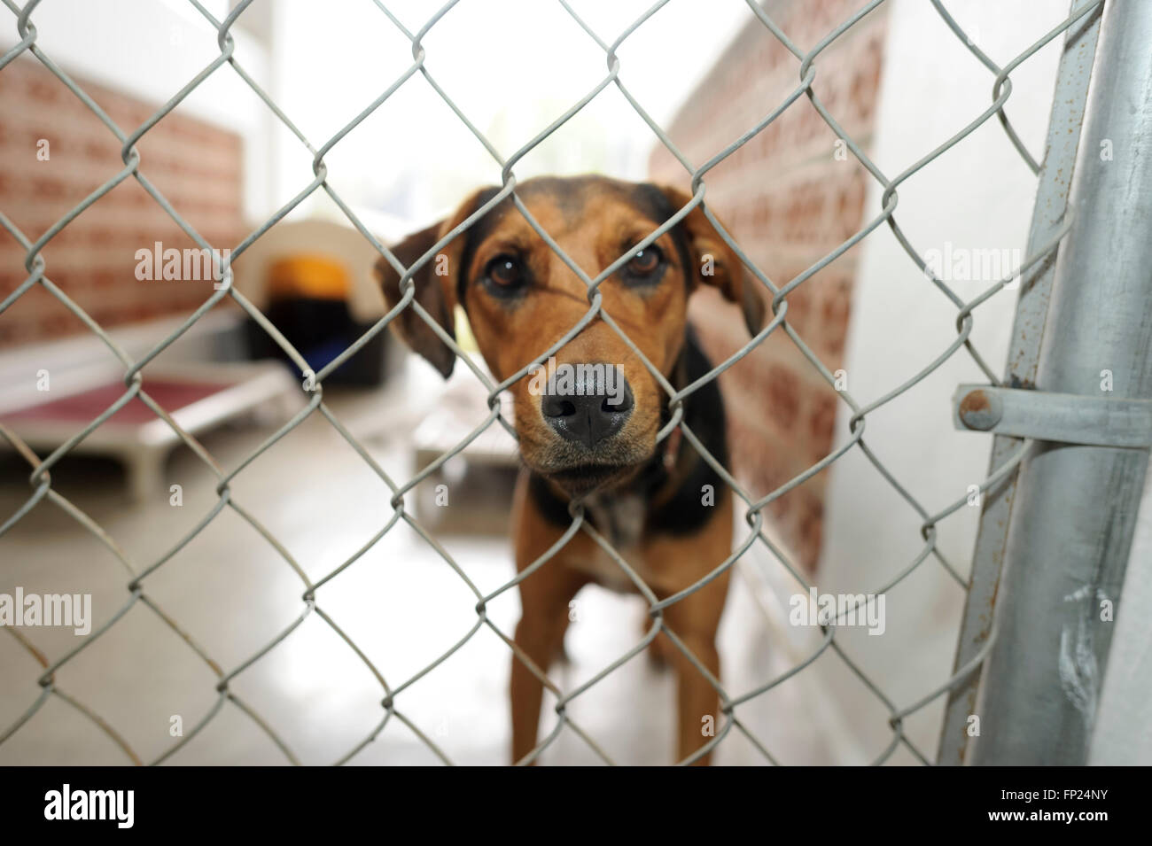 Shelter dog is is a beautiful dog in an animal shelter looking through the fence wondering if anyone is going to - Stock Image