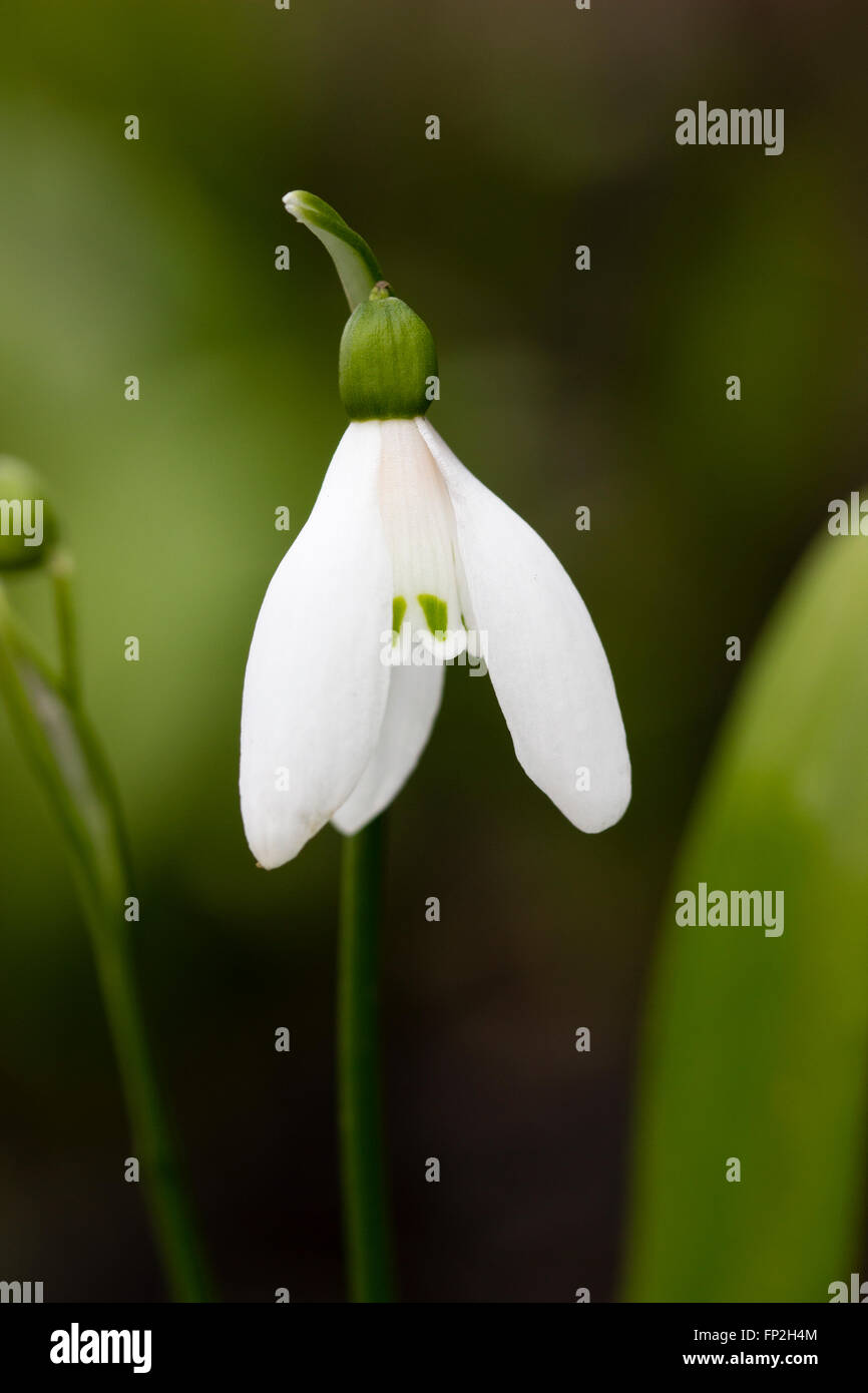 Single flower of the green leaved species snowdrop, Galanthus woronowii - Stock Image