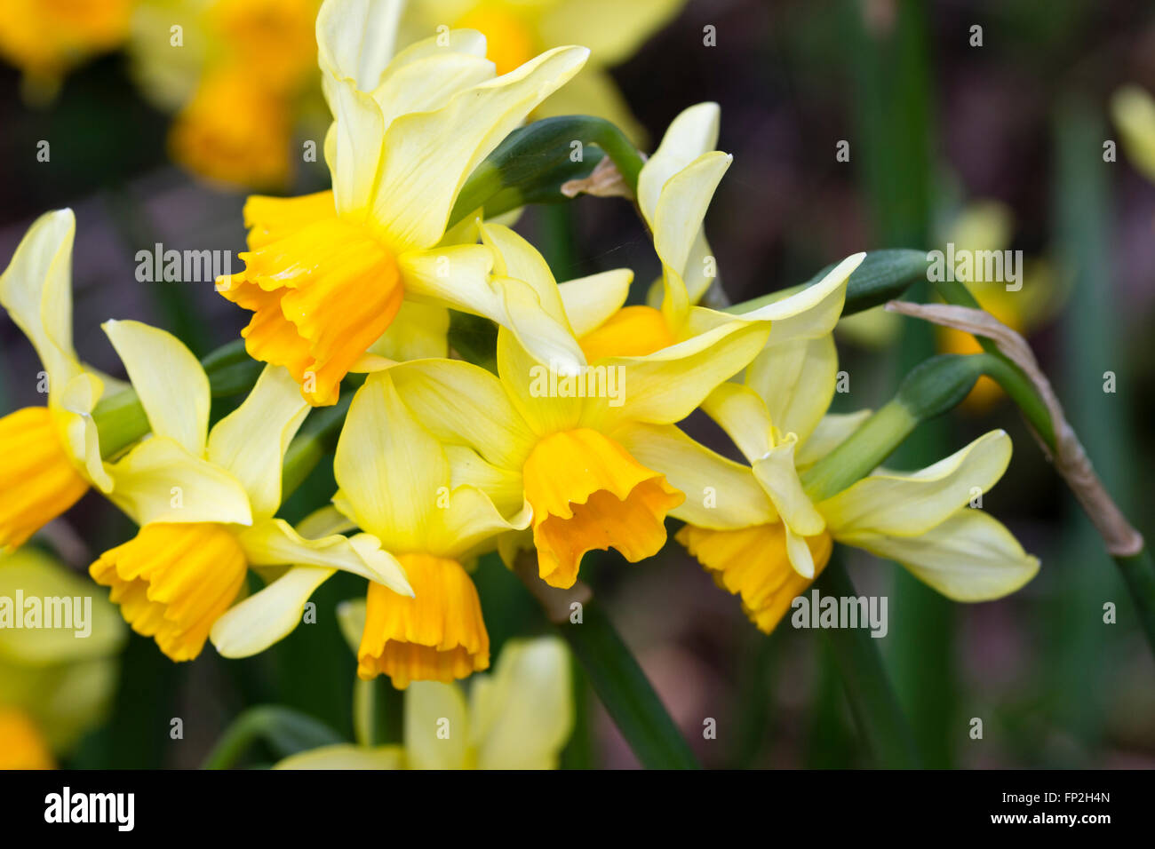 Flower song stock photos flower song stock images alamy early flowering the orange corolla and pale sepals of narcissus eaton song are mightylinksfo