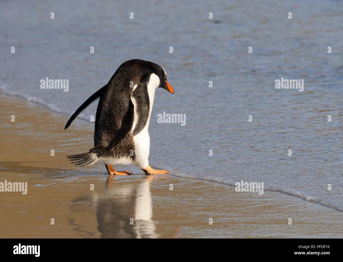 A gentoo penguin  (Pygoscelis papua) enter the sea near its nesting colony on Saunders Island. Saunders Island, - Stock Image