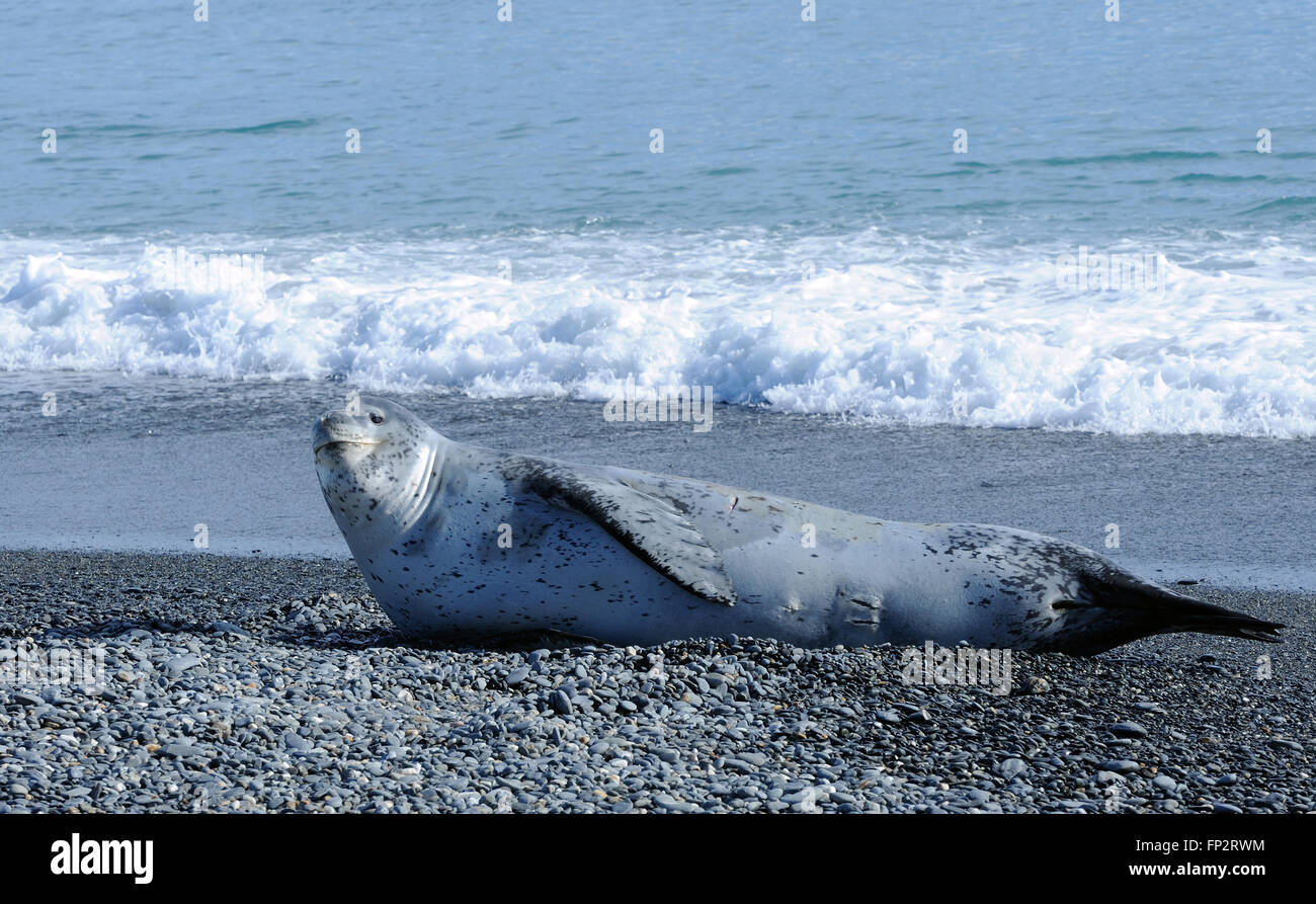 A Leopard Seal (Hydrurga leptonyx) lies on the beach near a King Penguin (Aptenodytes patagonicus) nesting colony. - Stock Image