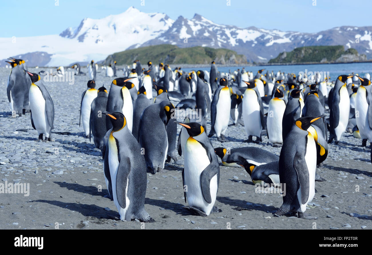 King penguins (Aptenodytes patagonicus) on the beach near their nesting colony. Salisbury Plain, Bay of Isles, South - Stock Image