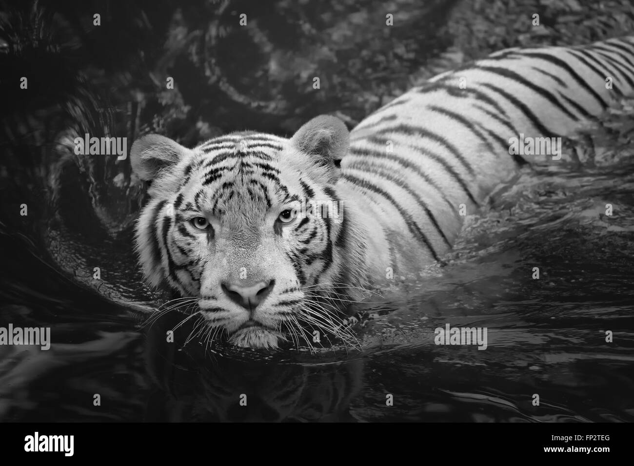 White Tiger Symbol Of Success And Might Stock Photo 99637400 Alamy