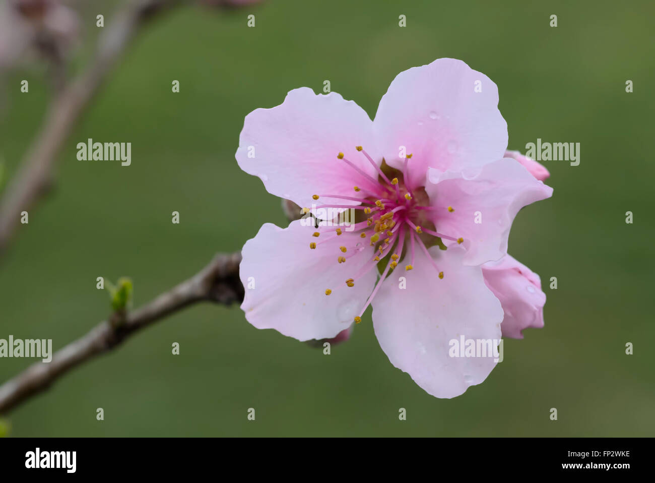 Nectarine fruit tree buds and flowers. Super Sweet / Sweet Pearl - Stock Image