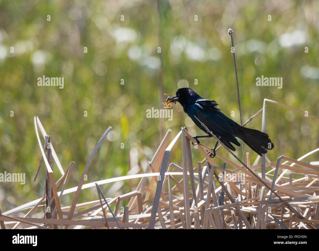 Common Grackle in flight with crayfish catch - Stock Image