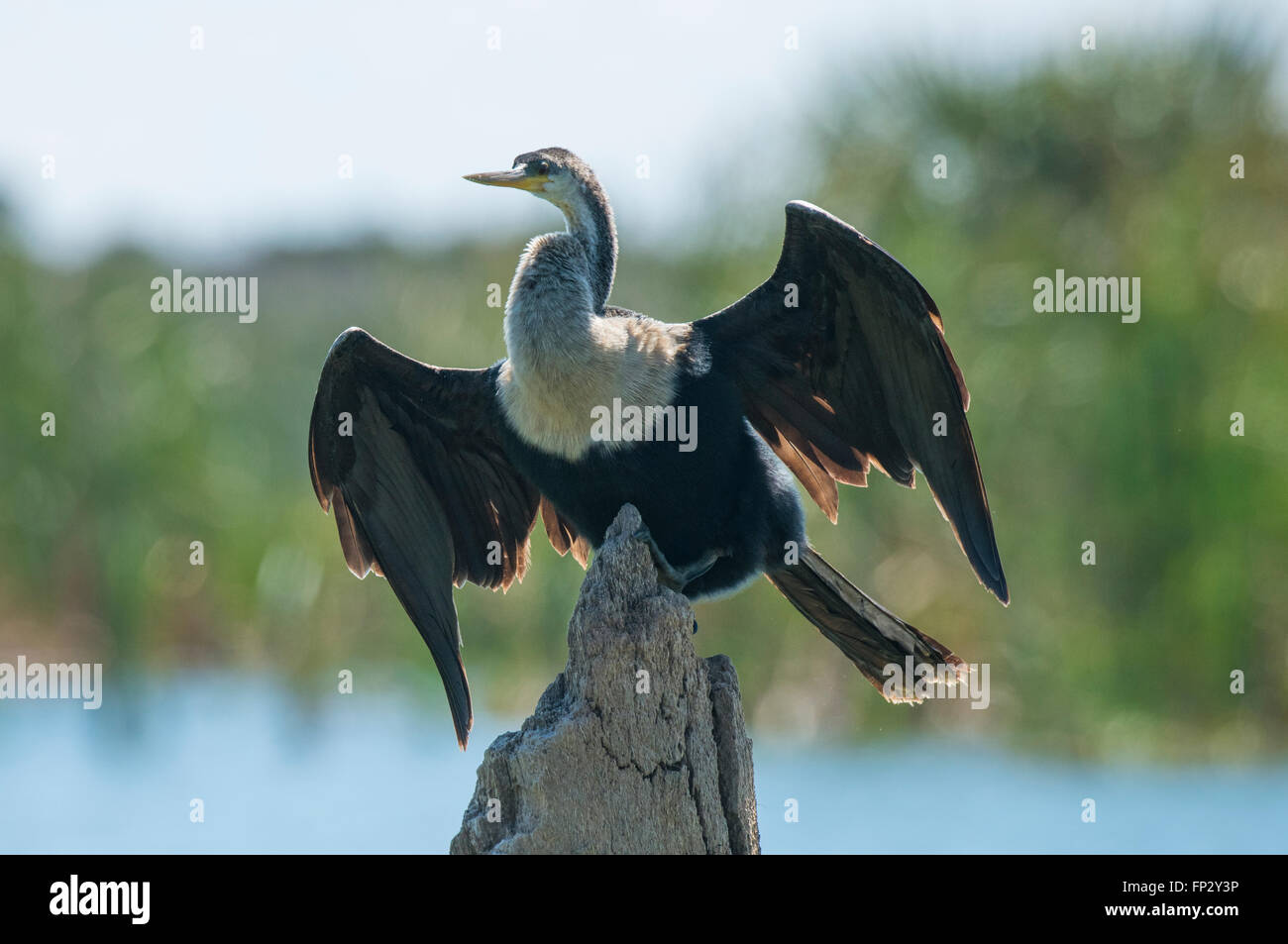 Female anhinga or snake bird perched on snag drying wings, - Stock Image