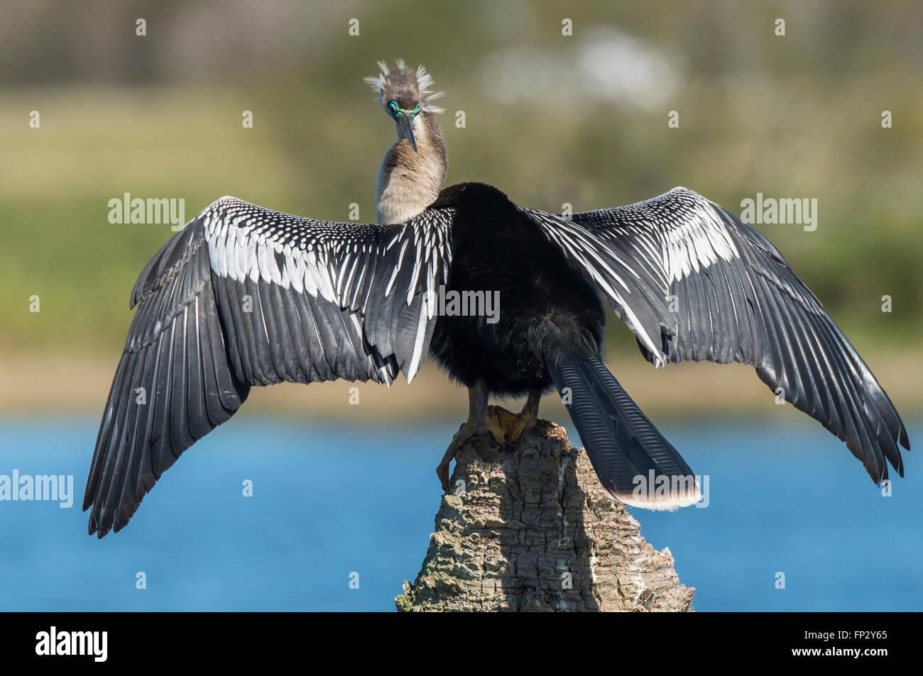 Male Anhinga, Snake Bird, or Water turkey with breeding plumage - Stock Image