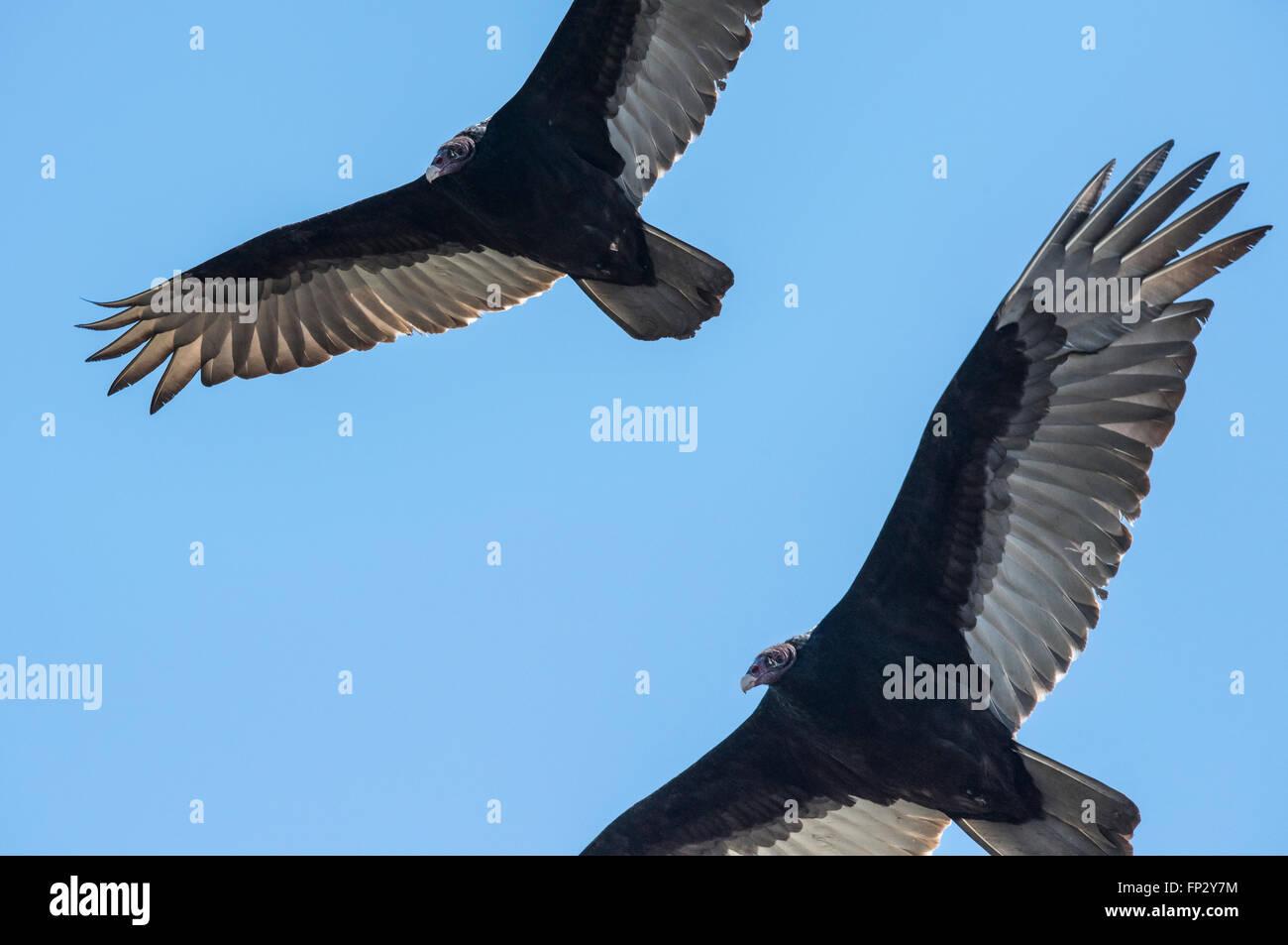 Black vultures soaring overhead - Stock Image