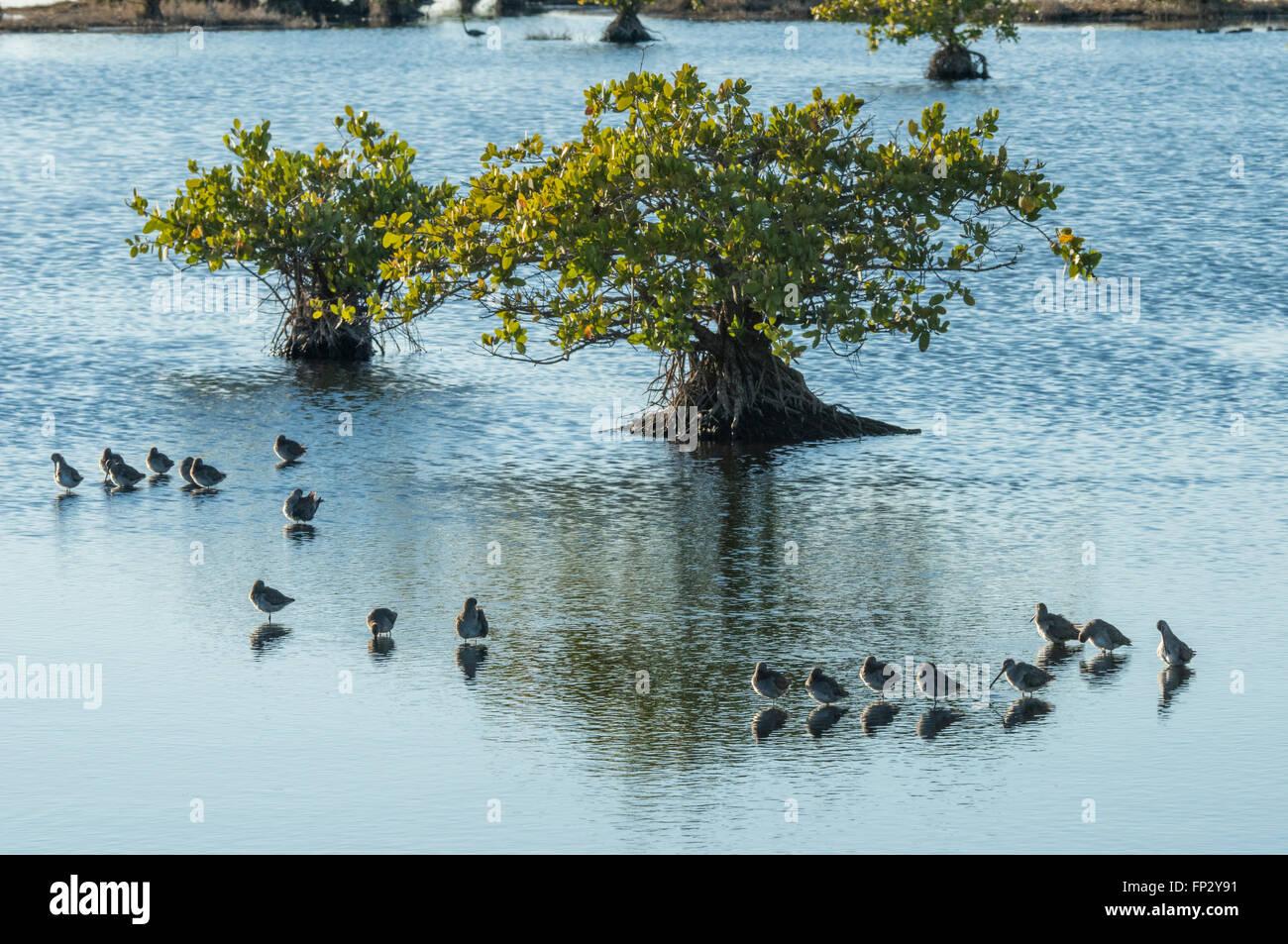 Sandpipers feeding in shallow mangrove marsh,Merrit Island National WIldlife Refuge - Stock Image