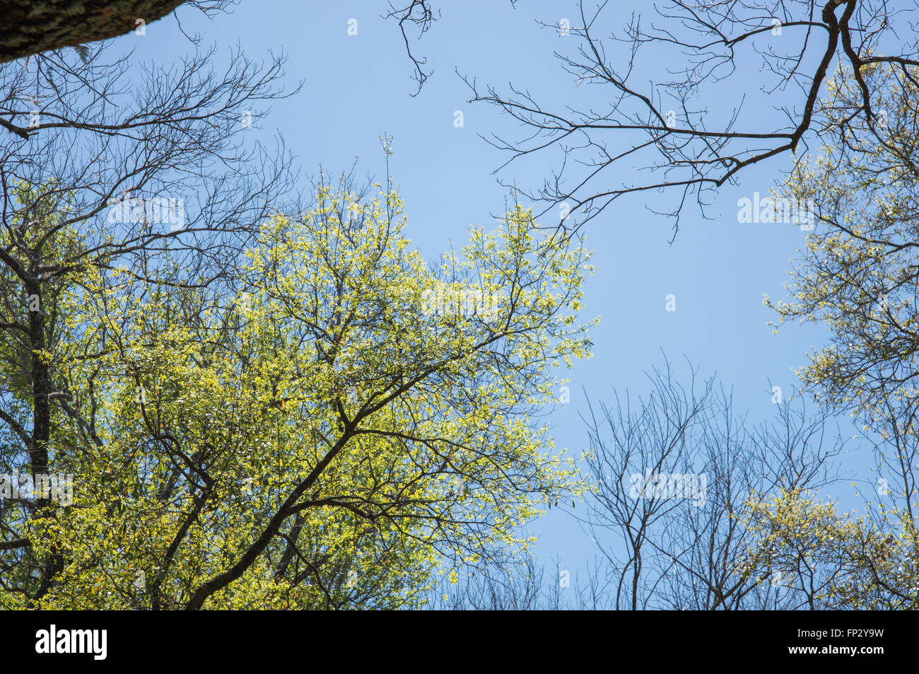 Leafing Oak trees with Hickory skeletons, early spring - Stock Image