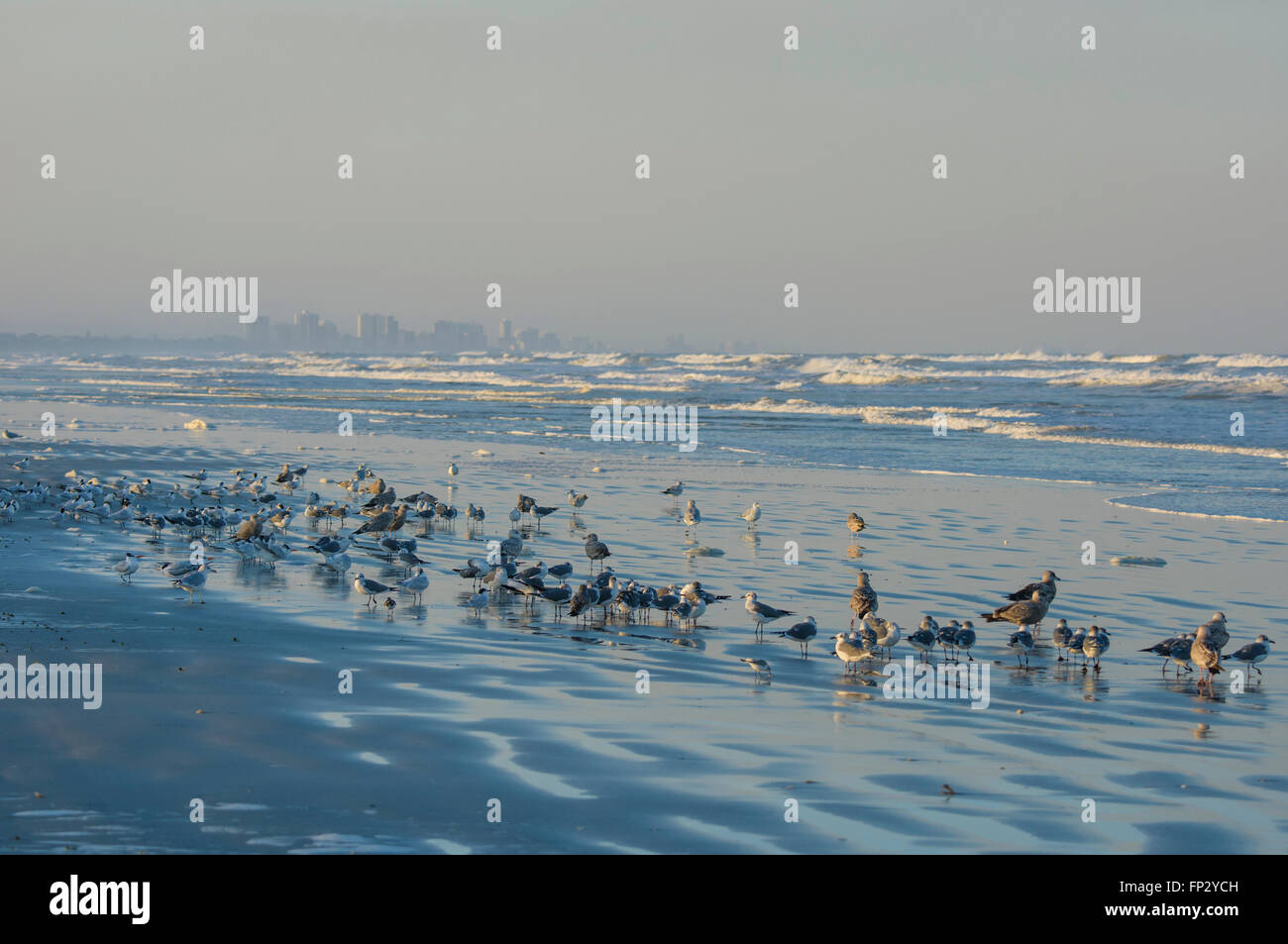 Wintering shore birds on beach at Lighthouse Point Park, Ponce Inlet, Volusia County Florida USA. Daytona beach - Stock Image