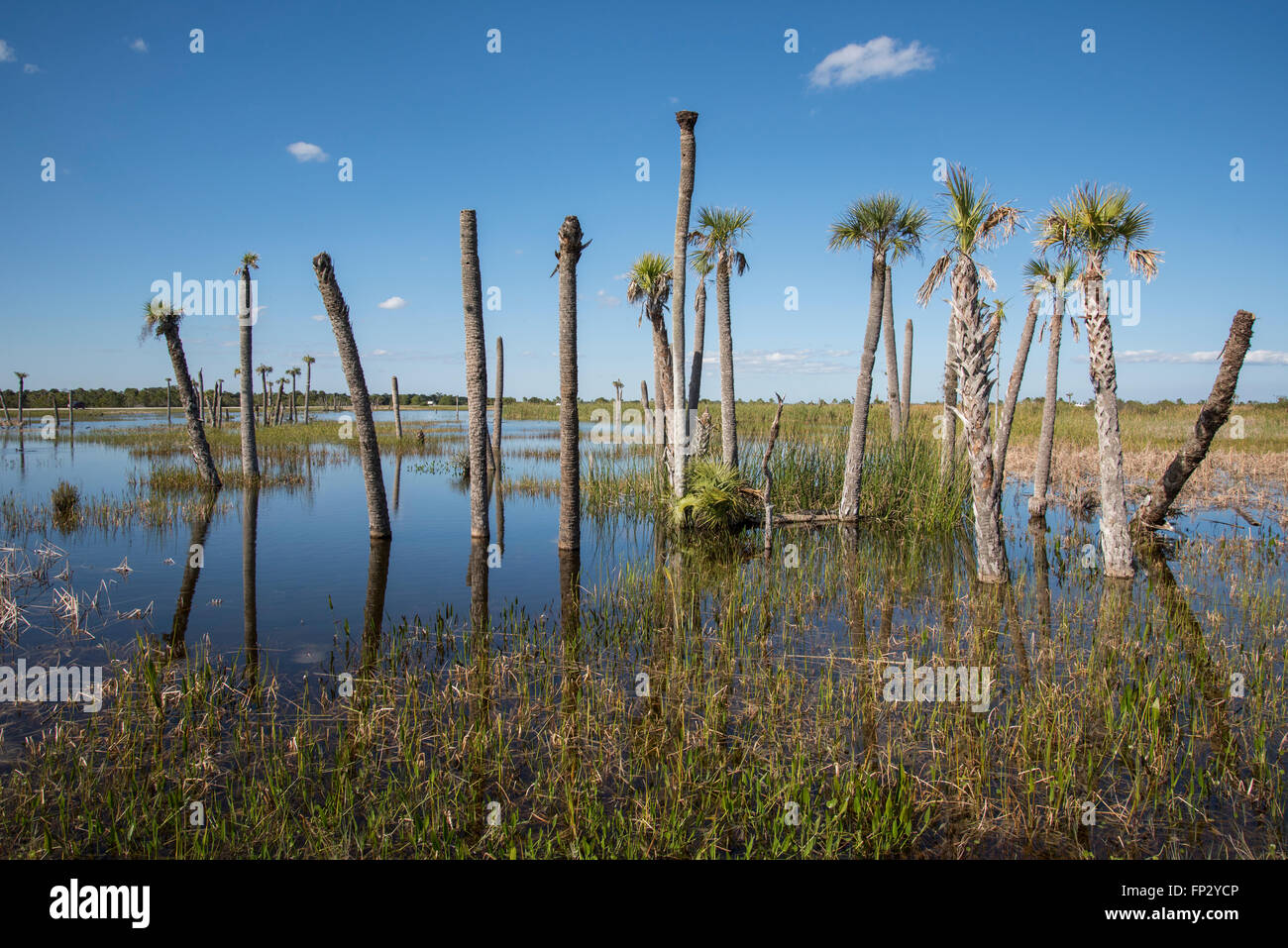 Flooded Sable palmetto head in man made wetlands preserve at Viera, FL - Stock Image