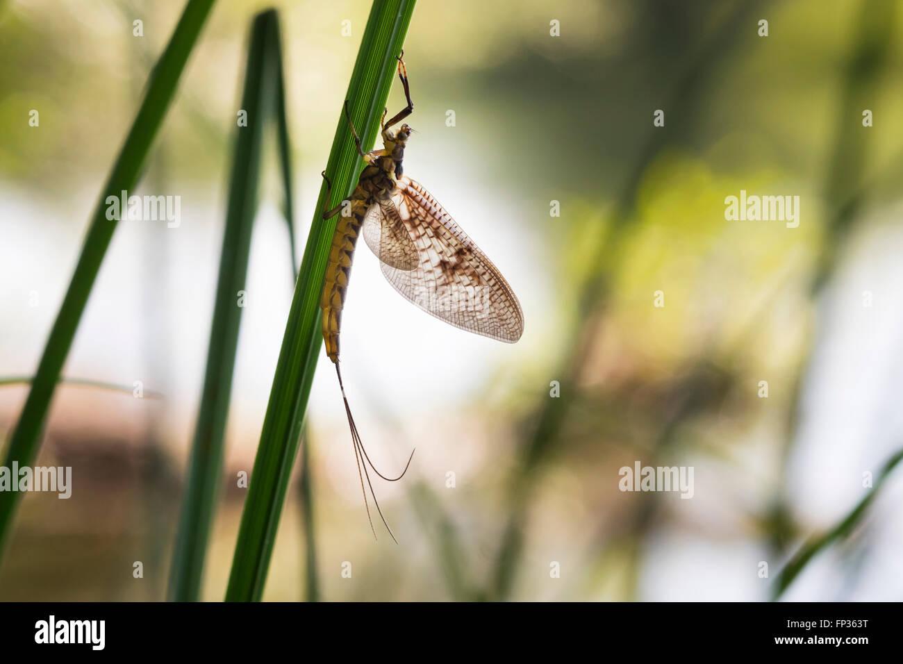 Mayfly (Ephemeroptera), Pupplinger Au, Upper Bavaria, Bavaria, Germany - Stock Image