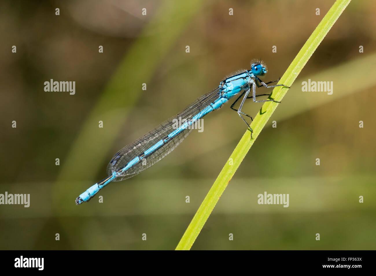 Common Blue Damselfly (Enallagma cyathigerum), male, Pupplinger Au, Upper Bavaria, Bavaria, Germany - Stock Image