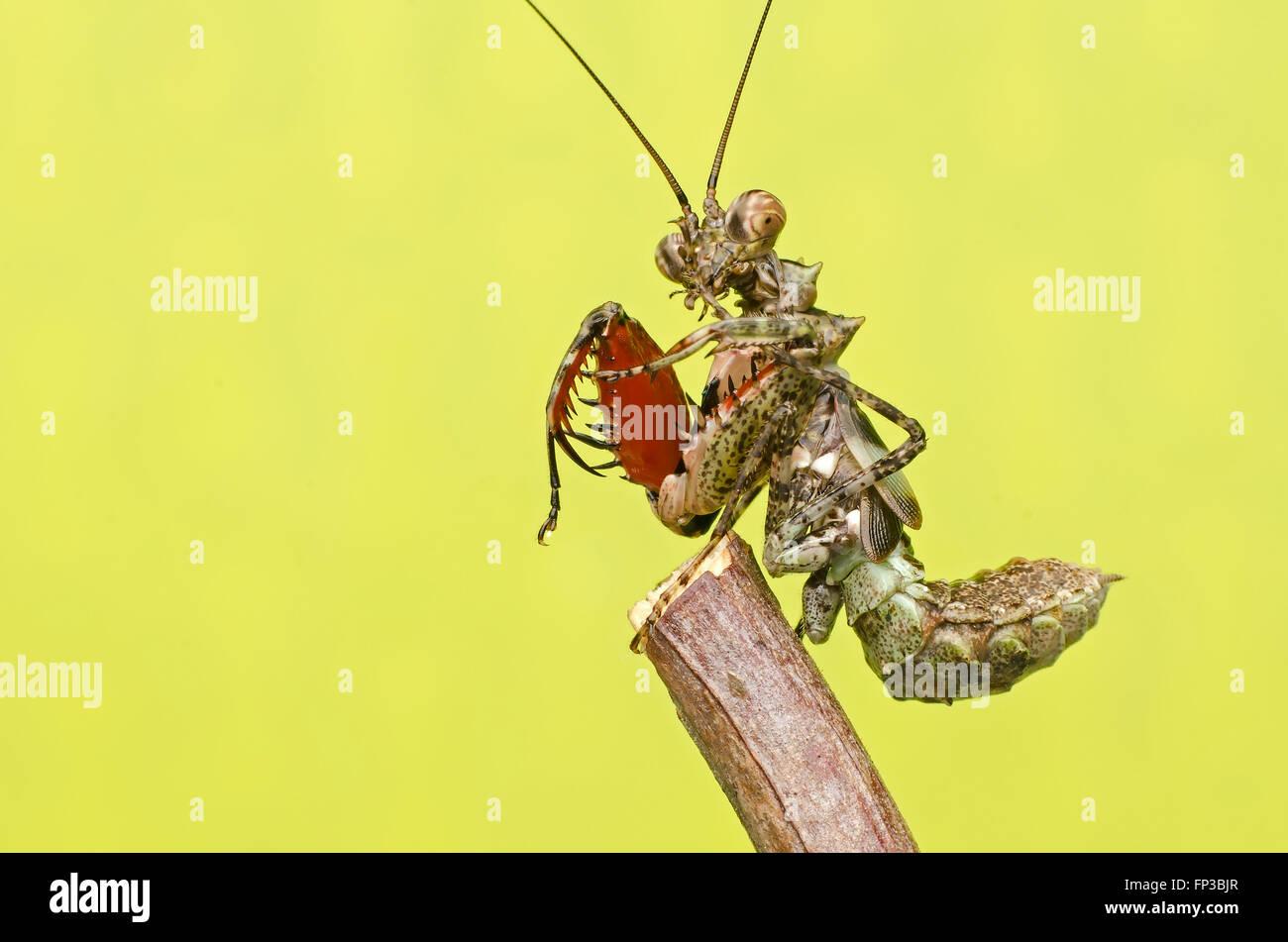 praying mantis.Pachymantis bicingulata nymph Stock Photo
