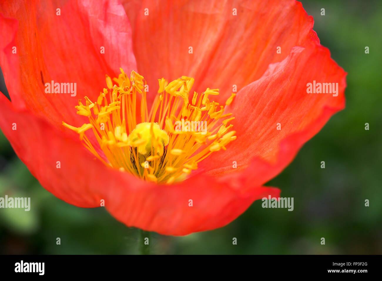Iceland poppy flower red stock photo 99651960 alamy iceland poppy flower red mightylinksfo