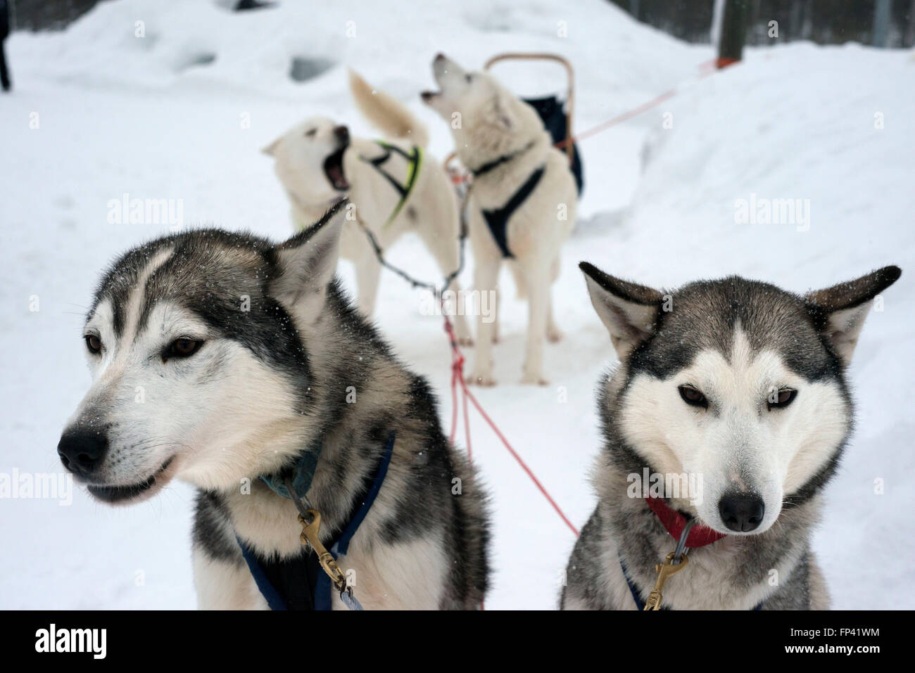Salla husky safari. Lapland, Finland. Before the safari our guide will give you a driving lesson and tell you how - Stock Image