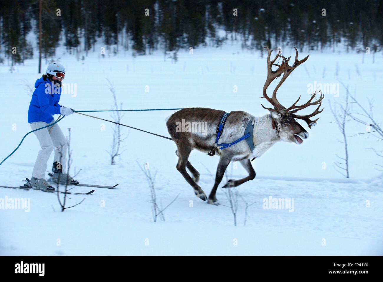 Salla ski resort. Skiing with reindeers. Salla, Lapland, Finland. Race. Winter means reindeer games in some of the - Stock Image