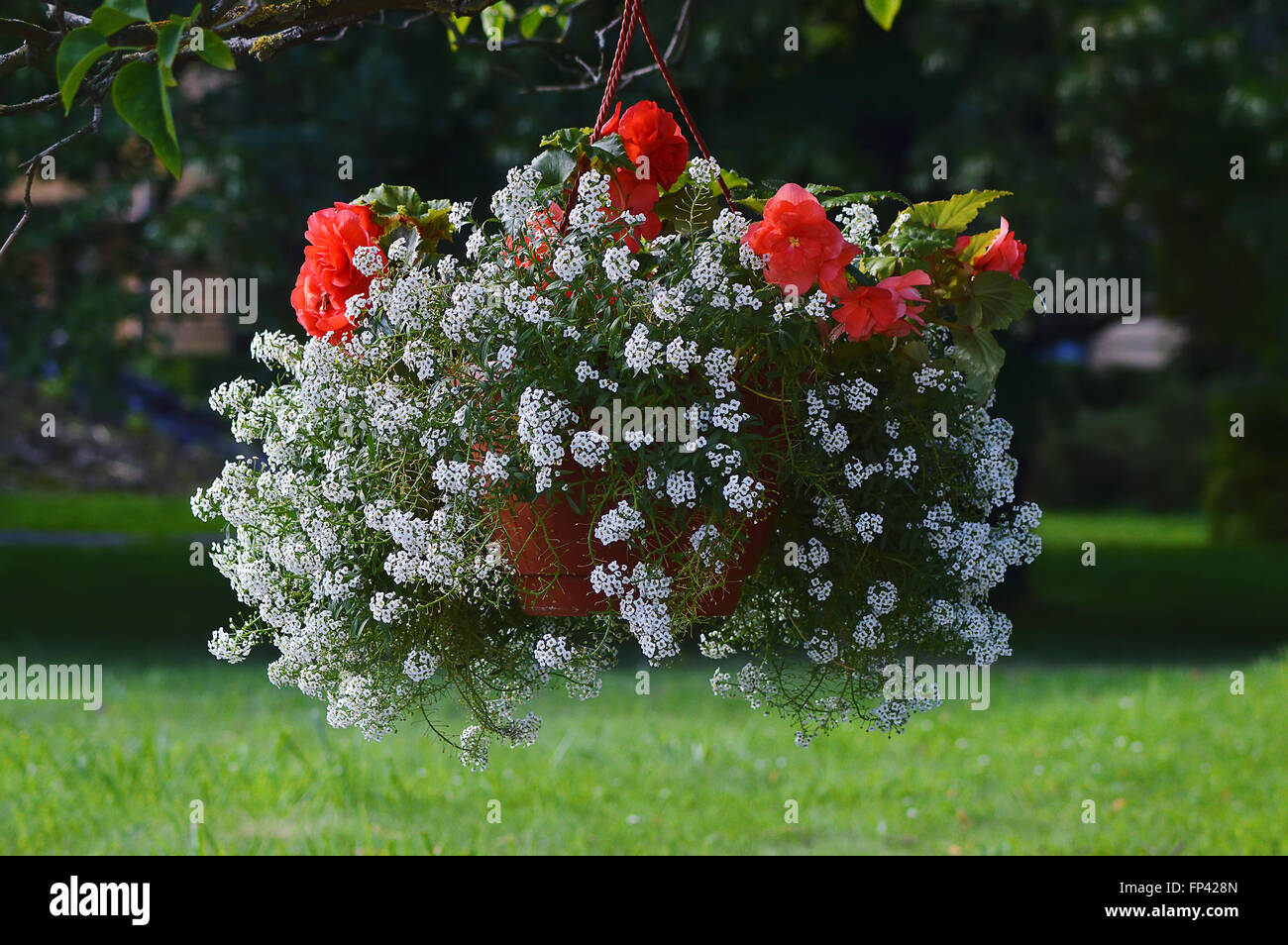 Red And White Flowers In A Hanging Planter In The Garden Stock Photo