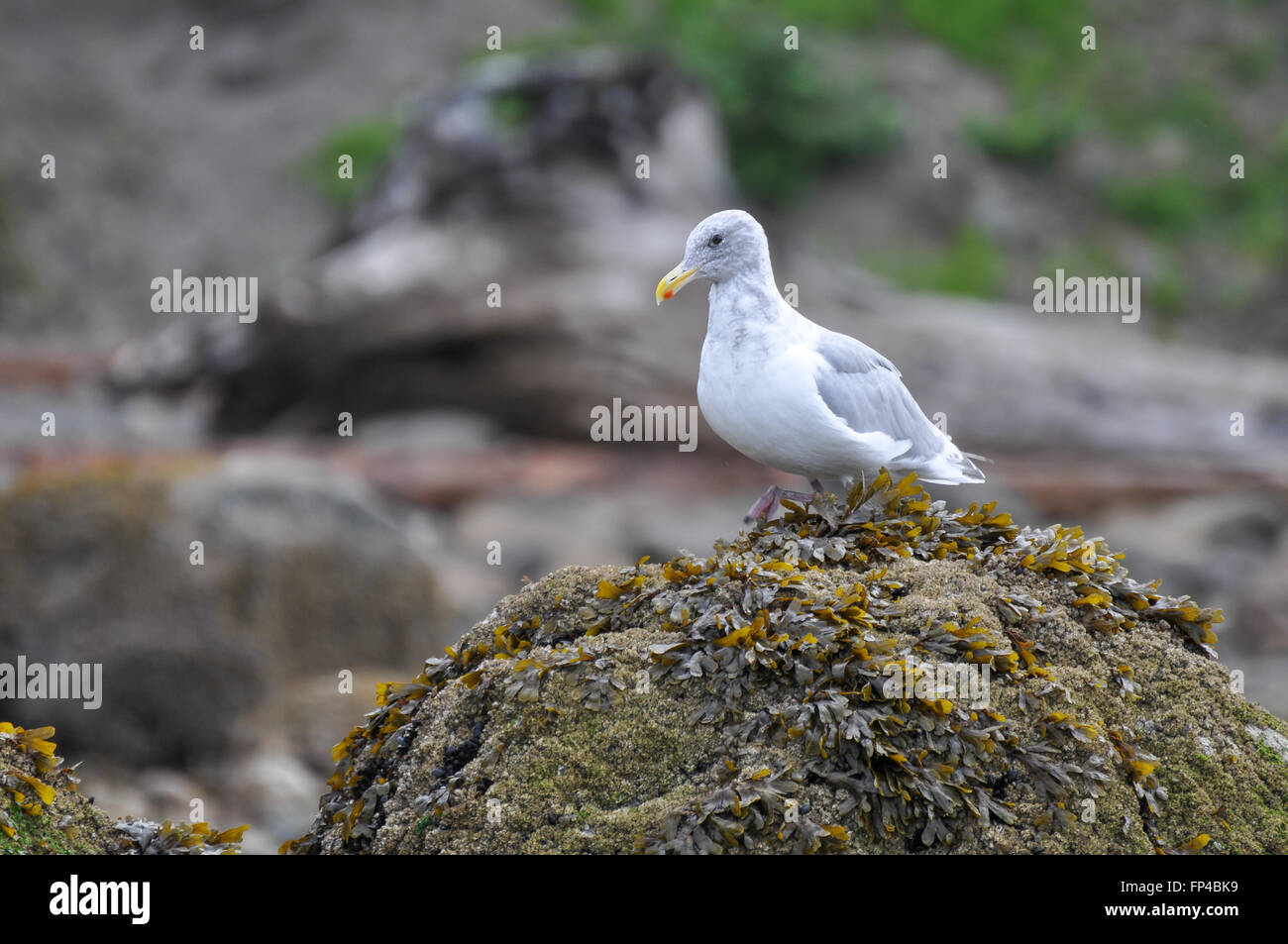 Larus glaucescens: A seagull on a rock full of seaweed - Stock Image