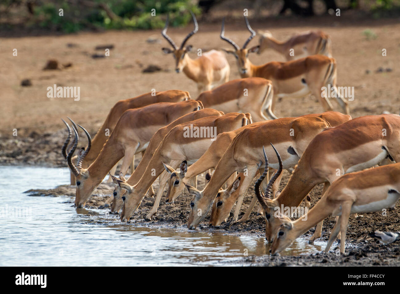Impala in Kruger national park, South Africa ; Specie Aepyceros melampus family of bovidae Stock Photo