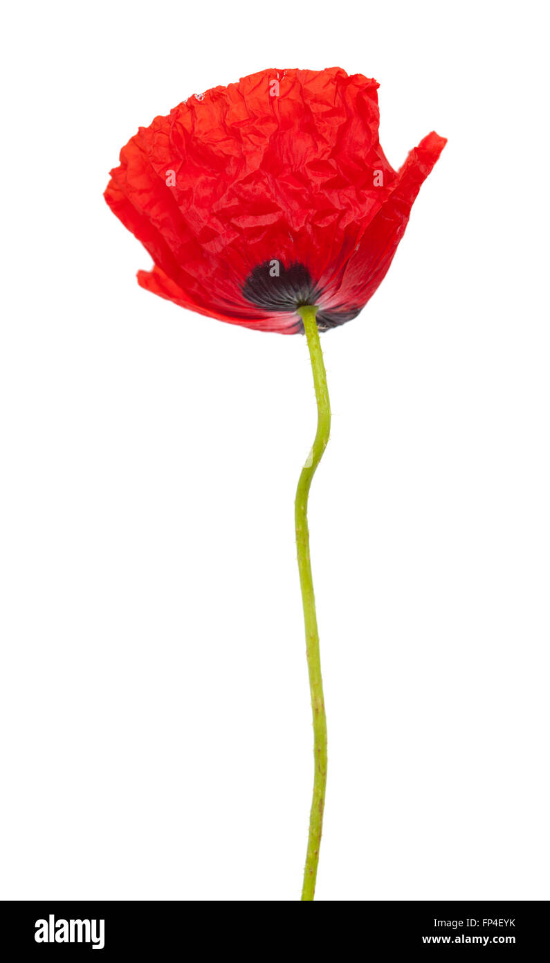 Close Up On Middle Of Poppy Flower Cut Out Stock Images Pictures