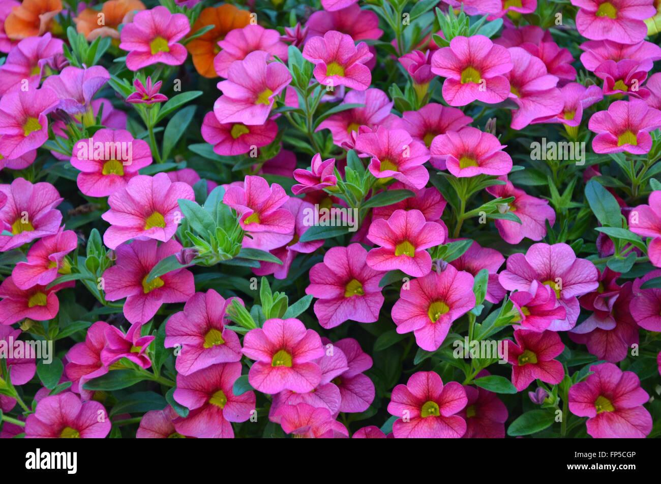 Beautiful Pink Small Petunia Flowers In Hanging Basket